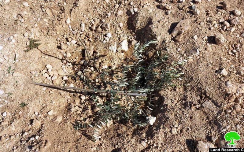 مستعمرون يقتلعون أشتال الزيتون من أراضي المواطنين في شعب البطم جنوب الخليل