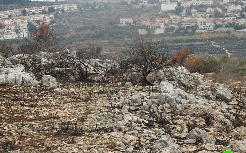 """مستعمرو """"أفرات"""" يحرقون 60 شجرة زيتون في بلدة الخضر / محافظة بيت لحم"""