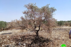 Setting fire to 103 olive trees in Dhohor Al-'Abed / Jenin governorate