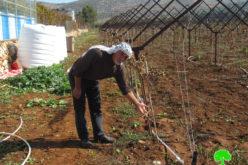 إتلاف 400 غرسة عنب ويعتدون على الممتلكات الفلسطينية في بلدة ترمسعيا / محافظة رام الله