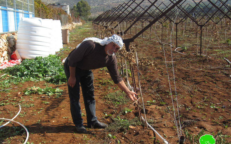 Colonists sabotage 400 olive Saplings in Turmus'ayya \ Ramallah governorate