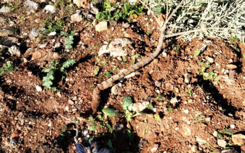 The Israeli Occupation Uproots 40 Olive Saplings in Al-Mughayyir Village / Ramallah governorate.