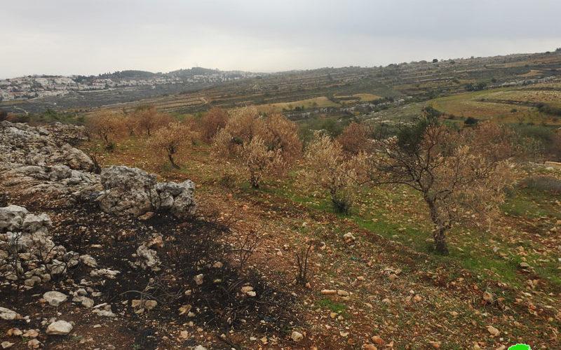 Efrat colonists set fire to 60 Olive trees in Al-Khader / Bethlehem governorate
