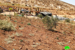 Colonists uproot about 340 seedlings in Tawameen area- east Yatta/  Hebron Governorate