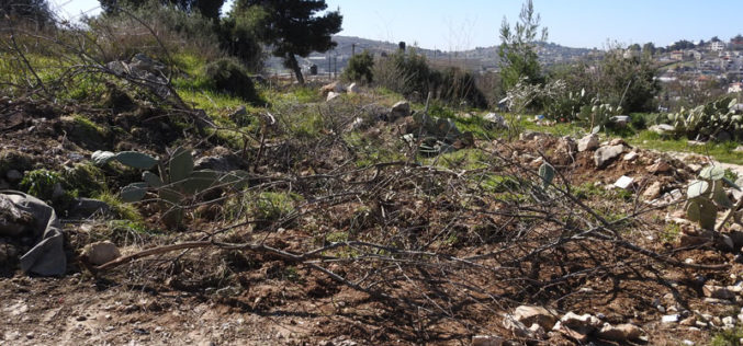 The Occupation Uproot trees and Ravage lands in Beit Ummar / North Hebron