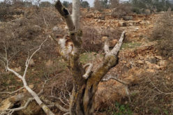 Tens of Olive Trees sabotaged in Yasuf Village