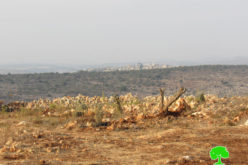 Uprooting Saplings and destroying retaining walls in Salfit city