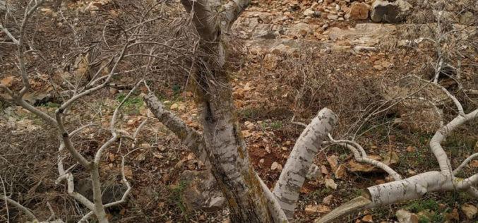 إتلاف عشرات أشجار الزيتون في قرية ياسوف / محافظة سلفيت