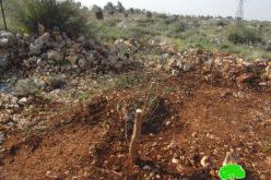 تجريف وقطع 110 غرسة زيتون ومصادرة جزء منها في قرية حارس / محافظة سلفيت