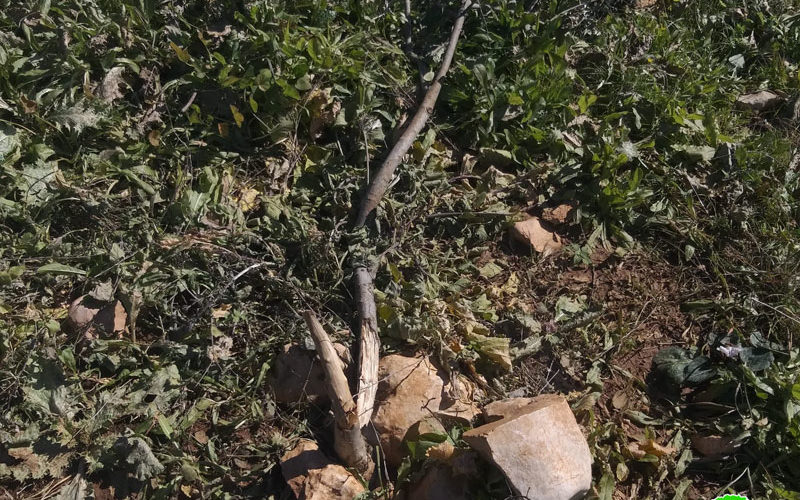 Israeli Settlers cut off and kill 120 olive seedlings in Salfit governorate