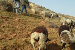 مستعمرون يعتدون على أراضٍ زراعية في بلدة بني نعيم جنوب الخليل