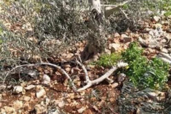 Thirty olive trees sawed down by Brochin settlers in the town of Kafr Ad-Dik, Salfit governorate
