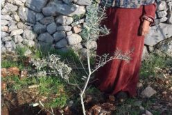 Colonists Down 11 Olive trees in Kafr Ad-Dik town / Salfit Governorate