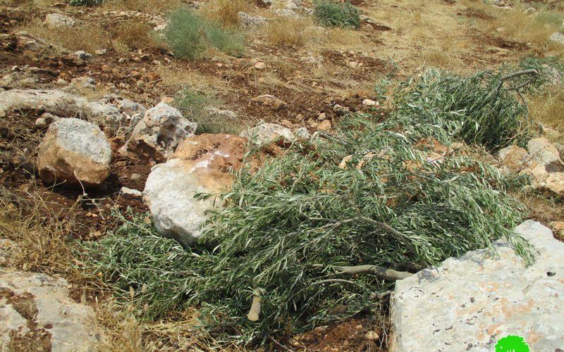 """مستعمرو مستعمرة """" رفافا"""" يتلفون 13 غرسة زيتون في قرية حارس / محافظة سلفيت"""