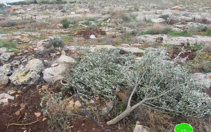 الاحتلال يقطع مئات الأشجار الحرجية والزيتون في منطقة عينون بمحافظة طوباس