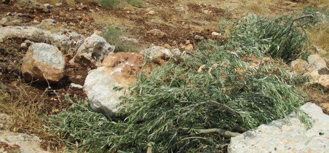 Revava Colonists Sabotage 13 Olive Saplings in Haris Village