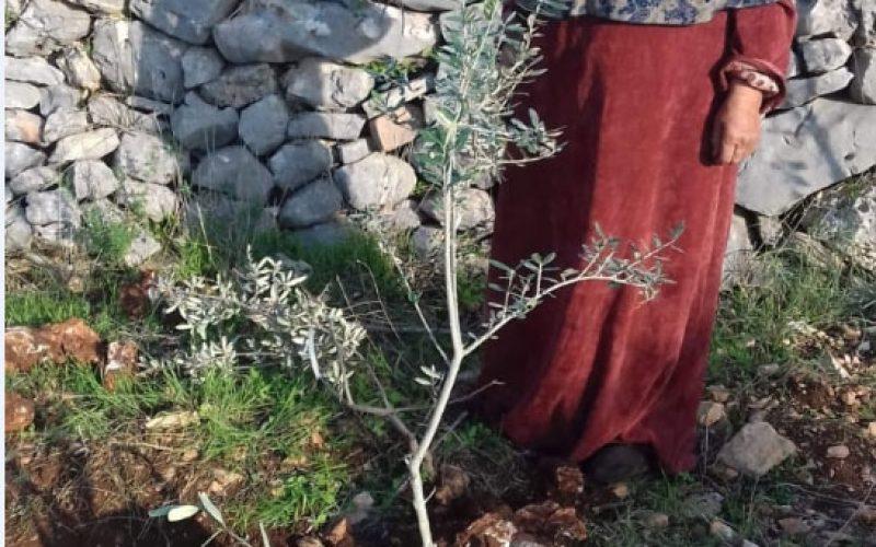 مستعمرون يقطعون 11 غرسة زيتون في بلدة كفر الديك / محافظة سلفيت