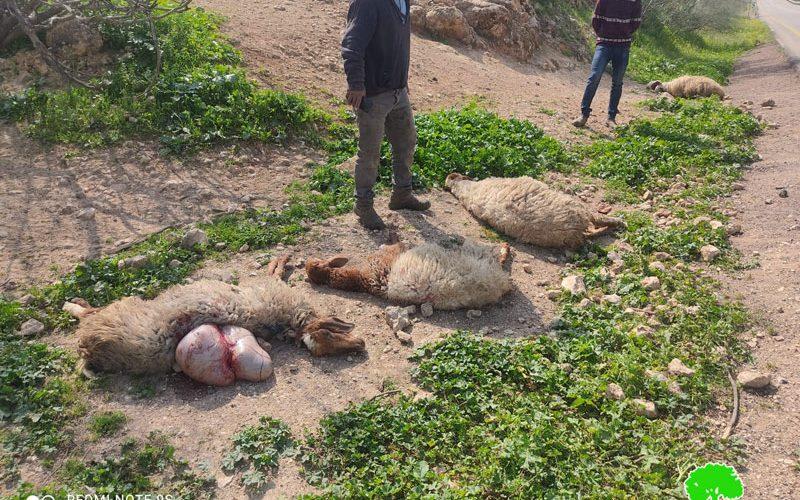 مستعمر اسرائيلي يدهس عدداً من رؤوس الماشية في منطقة عين حلوة / محافظة طوباس