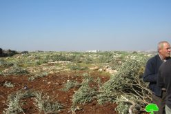 Hundreds of Olives and Almond Saplings Uprooted from Deir Ballut groves \ Salfit governorate