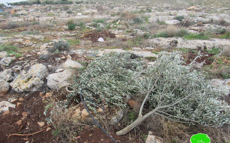 The Occupation cut down Hundreds of Forest and Olive trees in 'Einun Area / Tubas Governorate