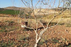 مستعمرون يسممون بالمواد الكيميائية أشجار زيتون في بلدة سنجل / محافظة رام الله
