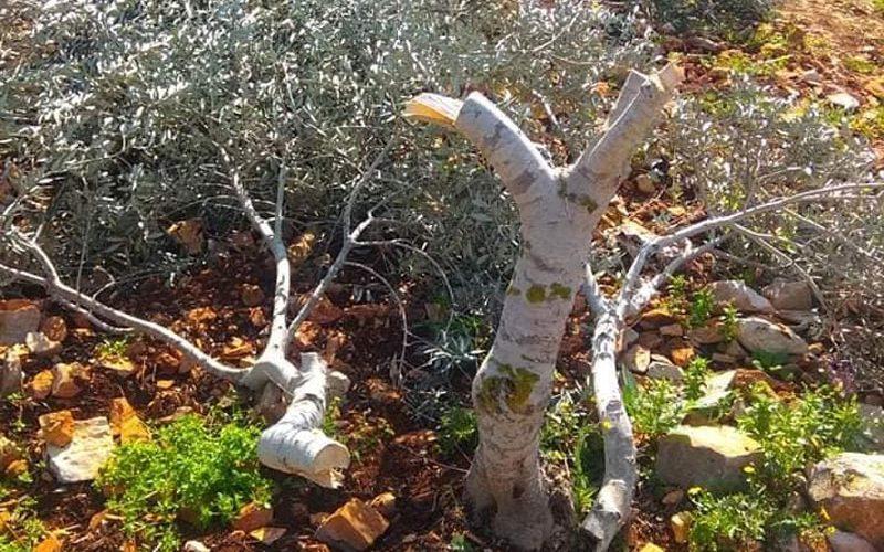 """مستعمرو مستعمرة """"بروخين"""" يعدمون 30 شجرة زيتون في بلدة كفر الديك بمحافظة سلفيت"""