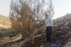 Colonists Set Fire to Olive Trees at Ar-Rihiya village south Hebron
