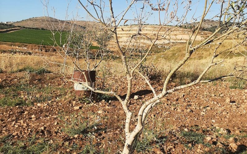Olive trees Poisoned in Sinjil town / Ramallah Governorate