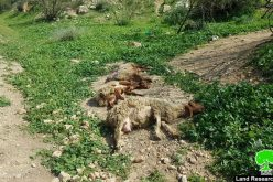 An Israeli Colonist Runs Over a Number of Heads of Sheep in 'Ein Al-Hilweh/ Tubas Governorate