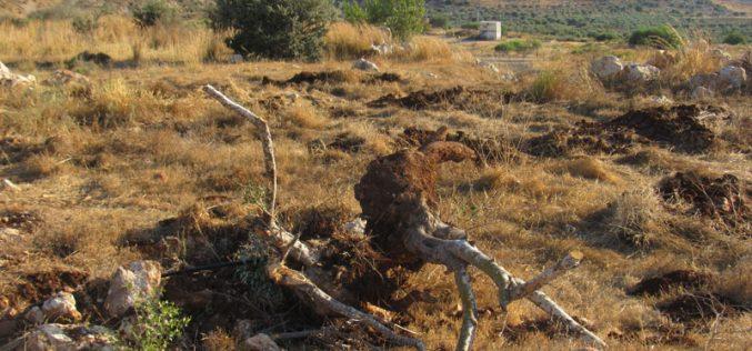 اقتلاع 100 غرسة زيتون وتدمير شبكة للري في بلدة جيوس / محافظة قلقيلية
