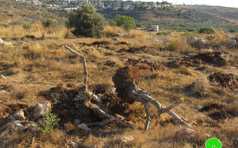 100 Olive Saplings Uprooted in Jayyous town / Qalqilya Governorate