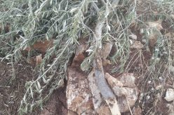 The Israeli Occupation uproot 95 olive saplings and Destroy Agricultural Structures in Kafr Ad-Dik village / Salfit Governorate